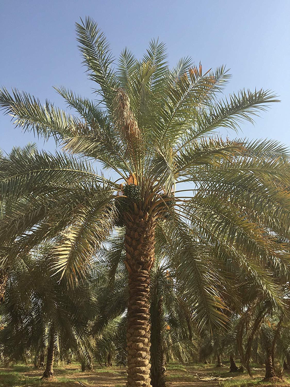 800 g Dátiles Ajwa Palmyra Delights 100% natural & saludable ...