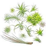 12 Air Plant Variety Pack - Bulk Assorted Species of Live Tillandsia House Plants for Sale - Wholesale Indoor Terrarium Air Plants by Aquatic Arts