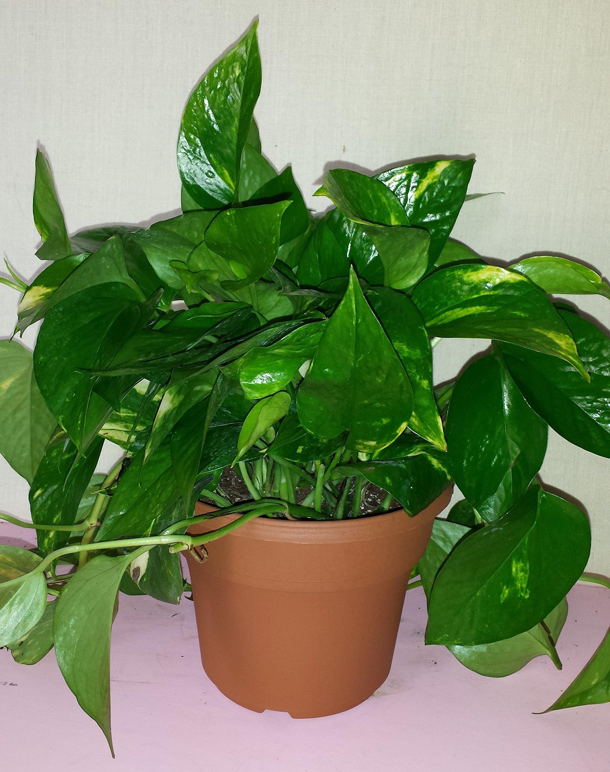 Golden Pothos Plant in a Six Inch Decorative Pot with Free Organic Fertilizer