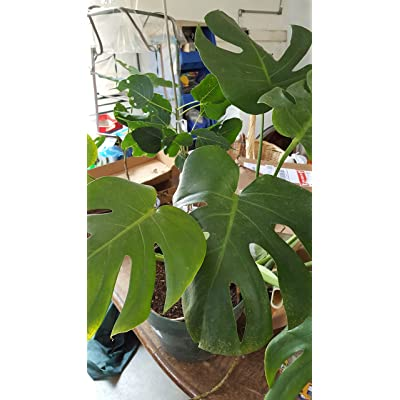 9EzTropical - Philodendron Split Leaf Monstera deliciosa Folage Plant - 1 to 2 Feet Tall - Ship in 1 Gal Pot : Garden & Outdoor