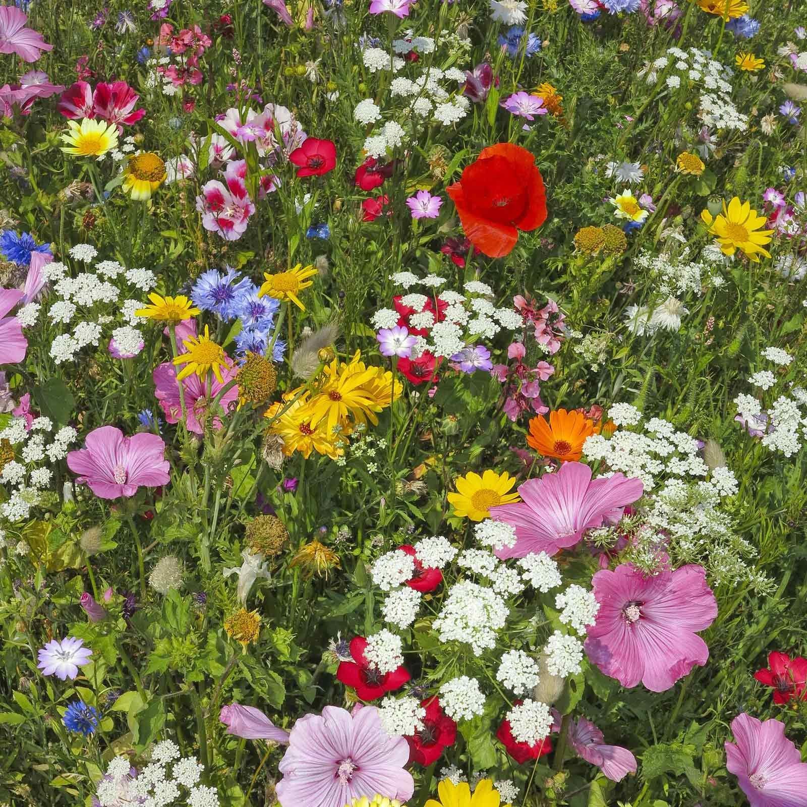 Hummingbird & Butterfly Wildflower Seed Mix - 1 Lb - Wild Flower Seed Mixture: Alyssum, Lemon Mint, Foxglove, More