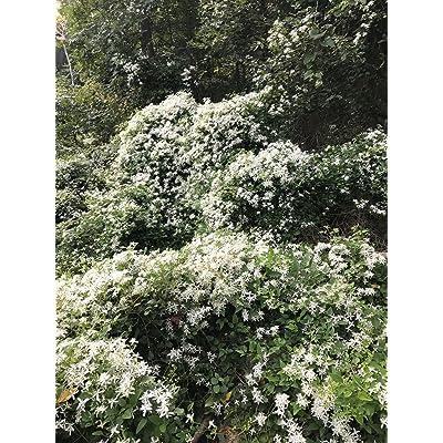 "5"" + Autumn Clematis Vine Paniculata White Pot 3"" Fast Growing Zone 5-10. Shade : Garden & Outdoor"