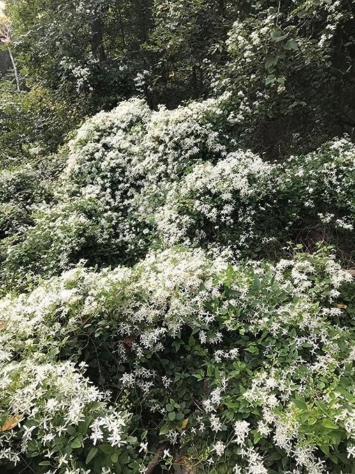 5u0026quot; + Autumn Clematis Vine Paniculata White Pot 3u0026quot; Fast Growing  Zone 5