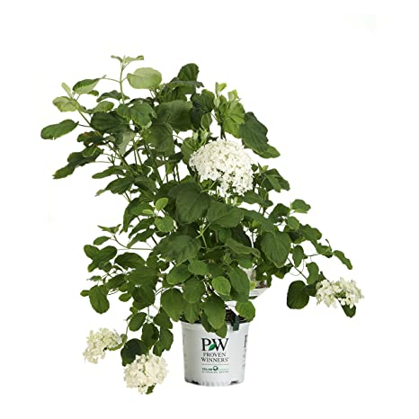 Amazon incrediball smooth hydrangea live shrub green to incrediball smooth hydrangea live shrub green to white flowers 1 gallon mightylinksfo