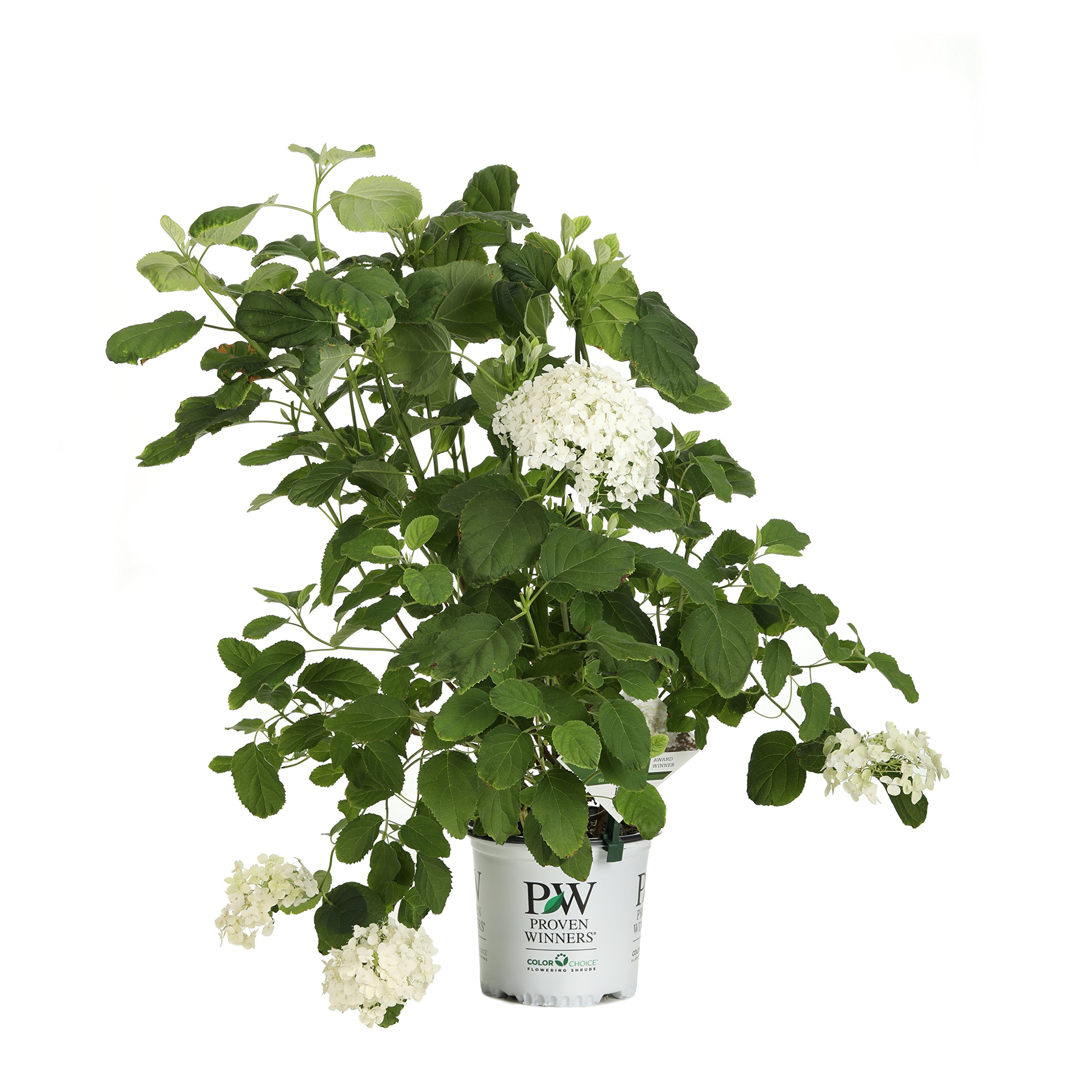 Incrediball Smooth Hydrangea, Live Shrub, Green to White Flowers, 1 Gallon
