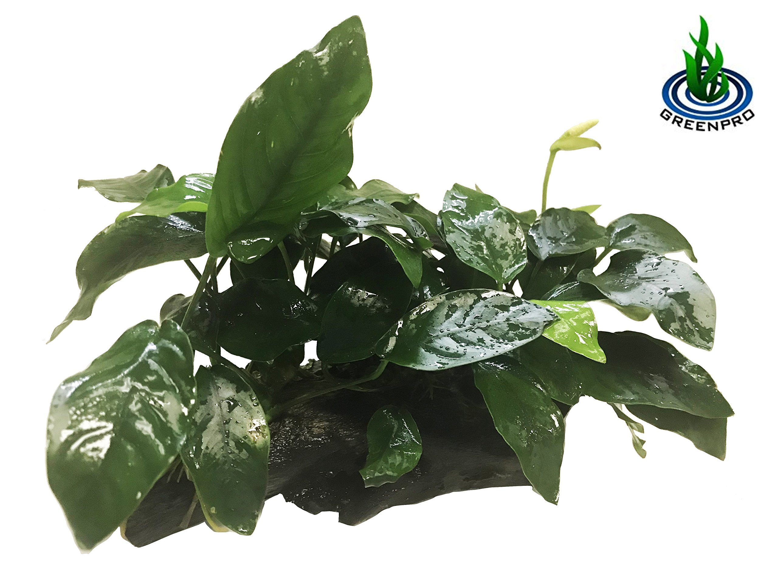 GreenPro (Anubias Nana 10+ Leaf Rooted) Anubias, Java Fern, Moss and more! Freshwater Live Aquarium Plants on Driftwood For Aquatic Tropical Fish Tank Decorations - Easy For Beginner by