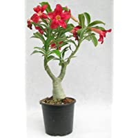 THE BONSAI PLANTS Beautiful Adenium Dessert Rose Plant