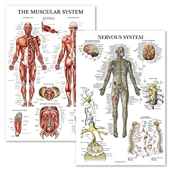 2 x Muscle Anatomy Set of Two Muscular System Anatomical Posters LAMINATED