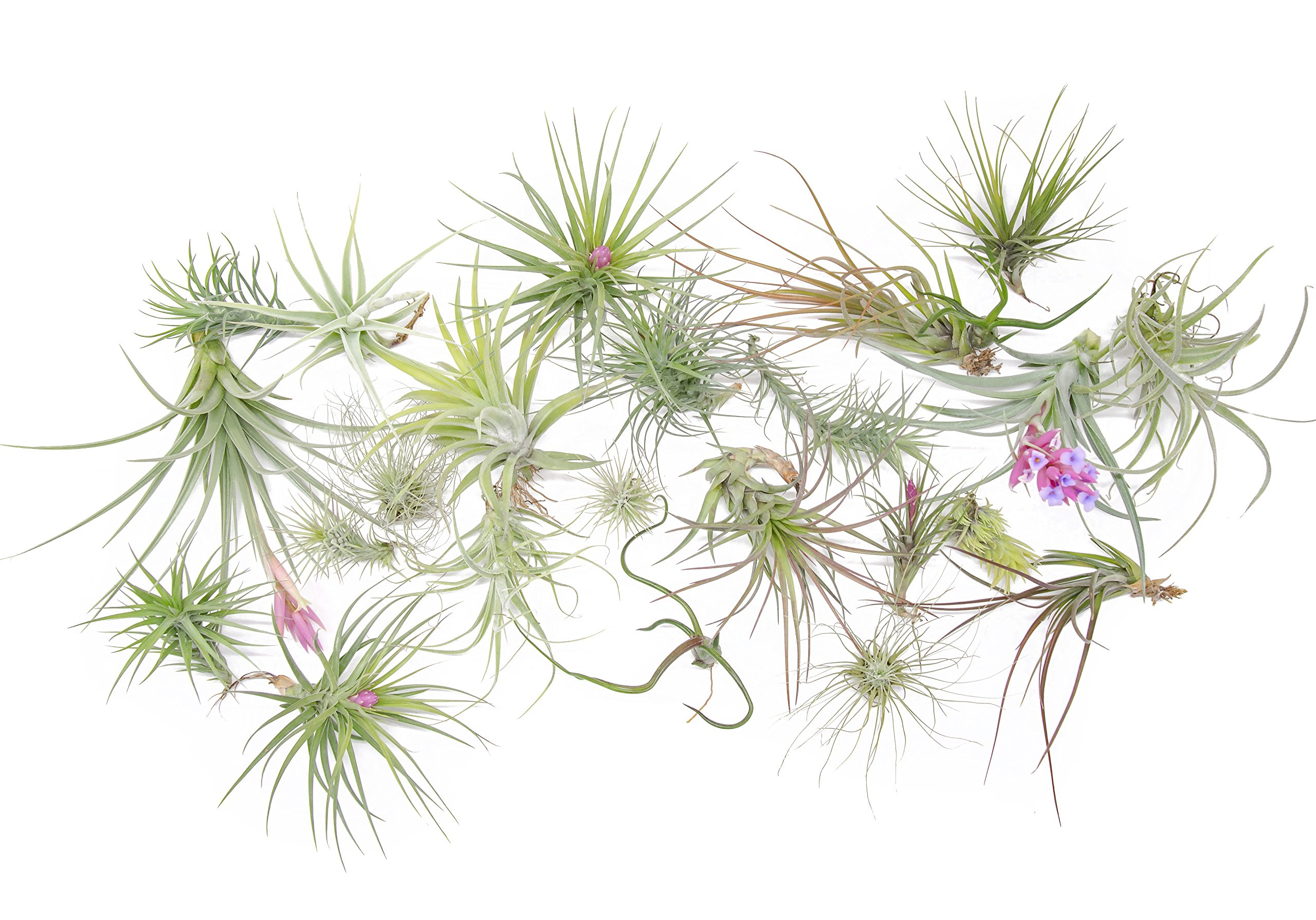 24 Air Plant Variety Pack - Large Tillandsia Terrarium Kit with Spray Bottle Mister for Water/Fertilizer - Assorted Species of Live Tillandsias, 4 to 10 Inch Indoor House Plants by Aquatic Arts