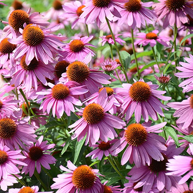 USA SEL RED ECHINACEA 100 SEEDS CONEFLOWER FRAGRANT LARGE DAISY-LIKE FLOWERS