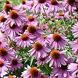 Outsidepride Echinacea Purple Coneflower Flower Seed - 1/4 LB