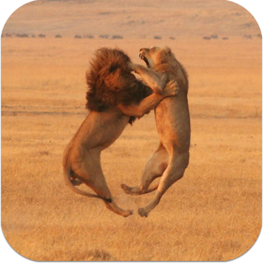 Amazon Com Lion Vs Tiger Fights Videos Appstore For Android