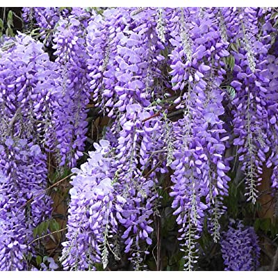 Blue wisteria vine creeper flowering could be a shrub too LIVE PLANT seedling : Garden & Outdoor