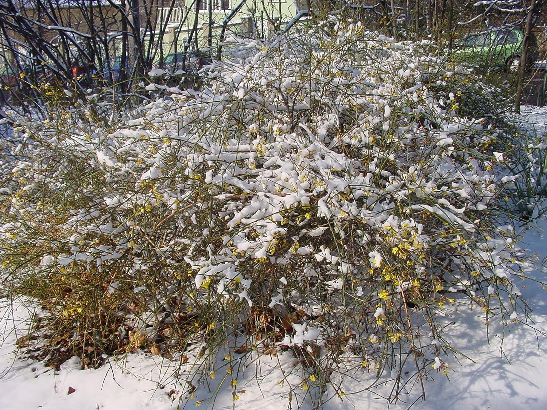 Winter jasmine jasminum nudiflorum yellow winter flowering shrub winter jasmine jasminum nudiflorum yellow winter flowering shrub arching habit amazon garden outdoors izmirmasajfo