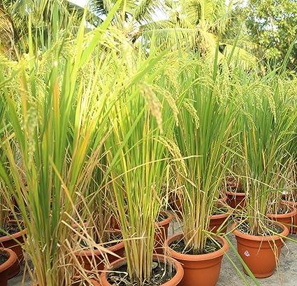 Buy Mall~Kerala : 50 Seeds of Organic Rice Paddy Oryza