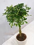 """[Palmenlager] Schefflera arboricola""""Gold Capella"""" 130 cm Hochstamm geflochten//Zimmerpflanze"""