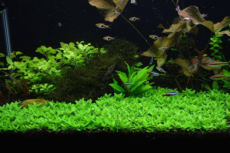 Repens Live Aquarium Plants Buy 2 GET 1 Free Staurogyne Repens Clump S