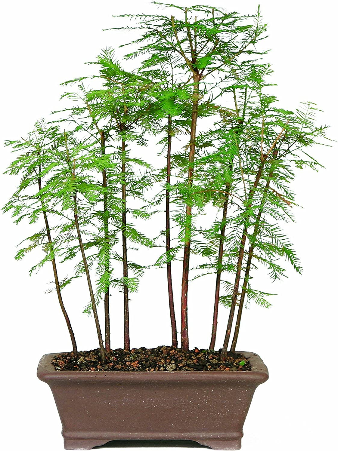 Amazon Com Brussel S Bald Cypress Grove Garden Outdoor