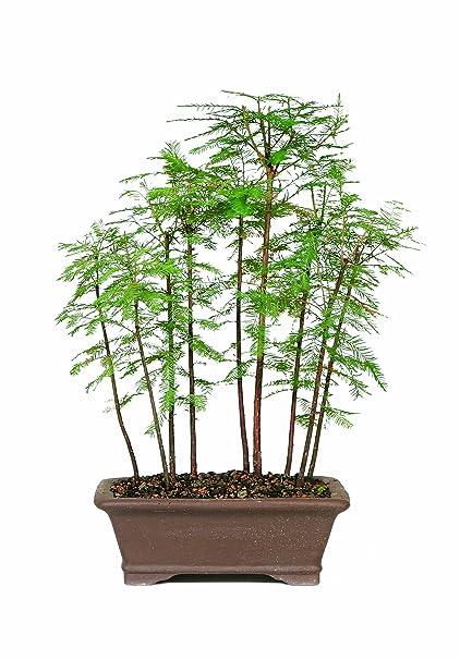 Amazon.com: Brussel\'s Bald Cypress Grove: Garden & Outdoor