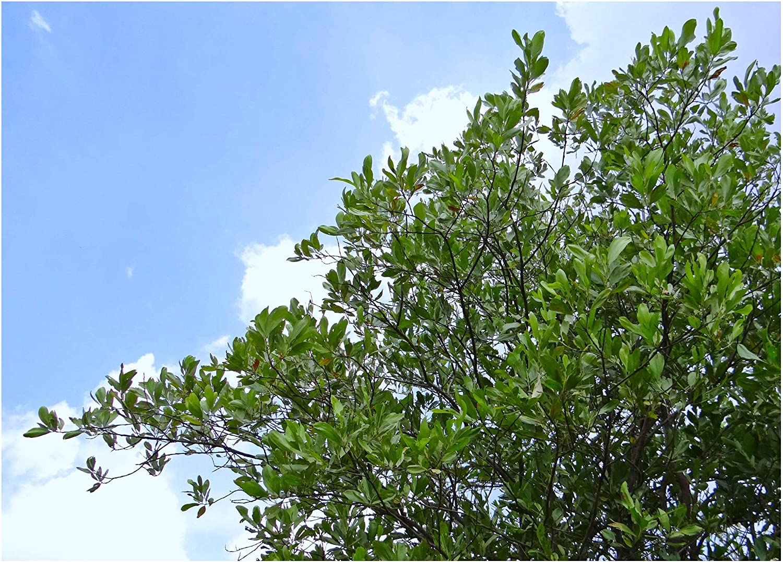 100 Acacia mangium seeds Hickory Wattle