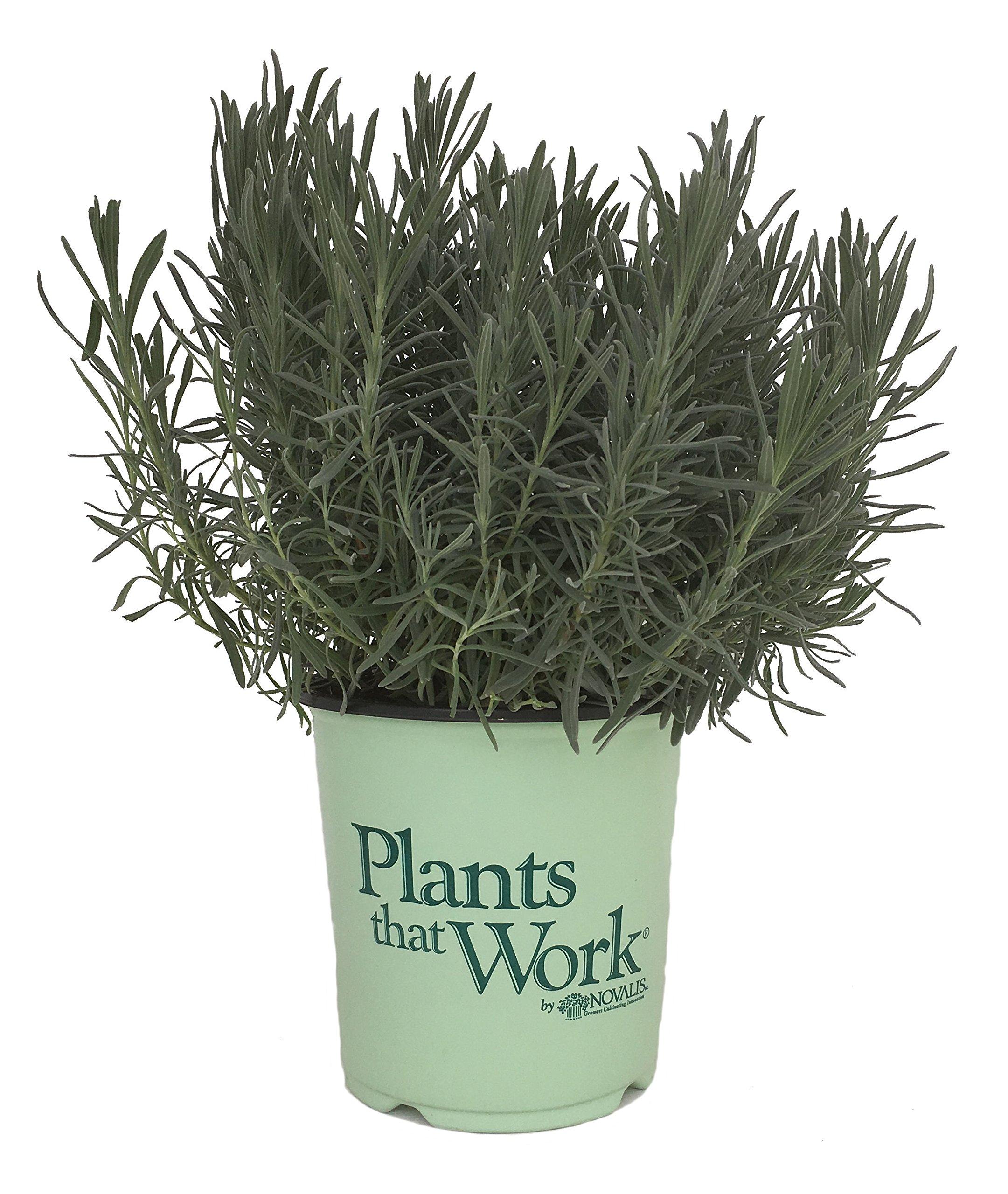 Plants That Work Phenomenal Lavender - Lavandula X I. Phenomenal - 19cm