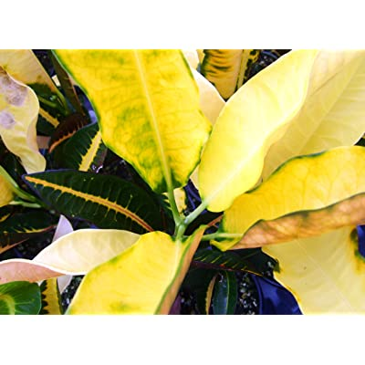 Buddy Rare Old Heirloom Collectors Croton Live Plant Codiaeum variegatum Bright Yellow Green Dark Red Starter Size 4 Inch Pot Emerald TM : Plants : Garden & Outdoor