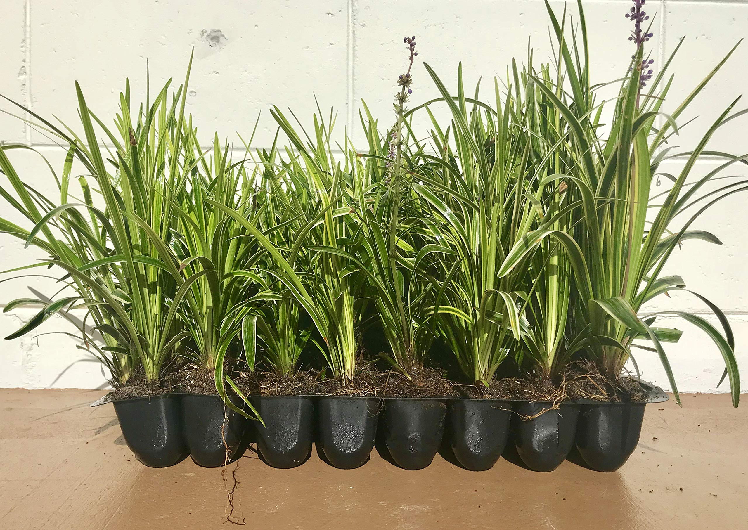 Liriope 'Variegated' Grass (Liriope muscari 'Variegata') 3'' in. pots - 18 Count Tray