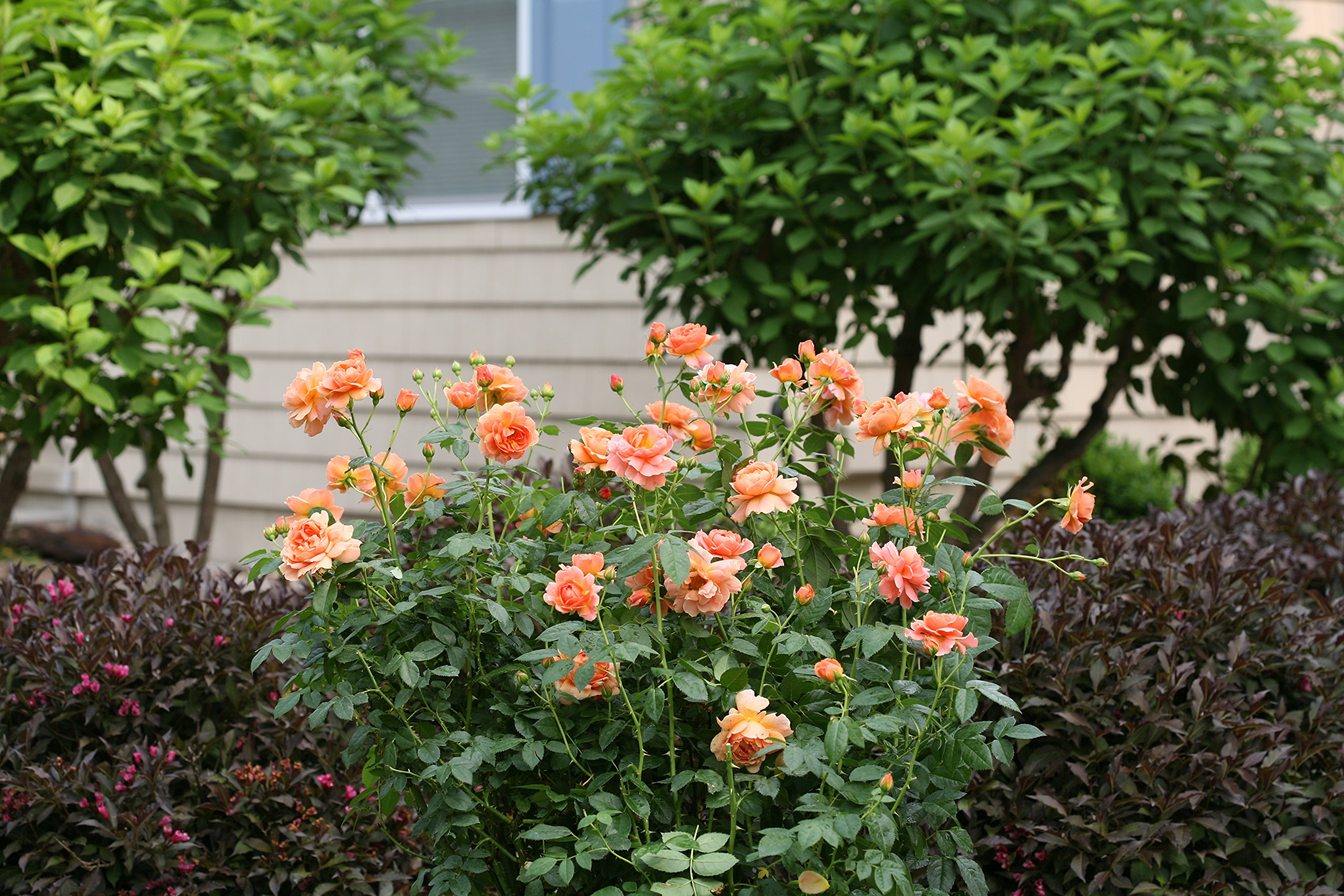 At Last Rose (Rosa) Live Shrub, Orange Flowers, 4.5 in. Quart by Proven Winners (Image #9)