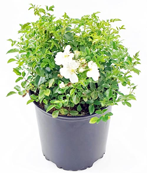 Amazon white flower carpet rose white flowering rose in 2 white flower carpet rose white flowering rose in 2 gallon pot mightylinksfo