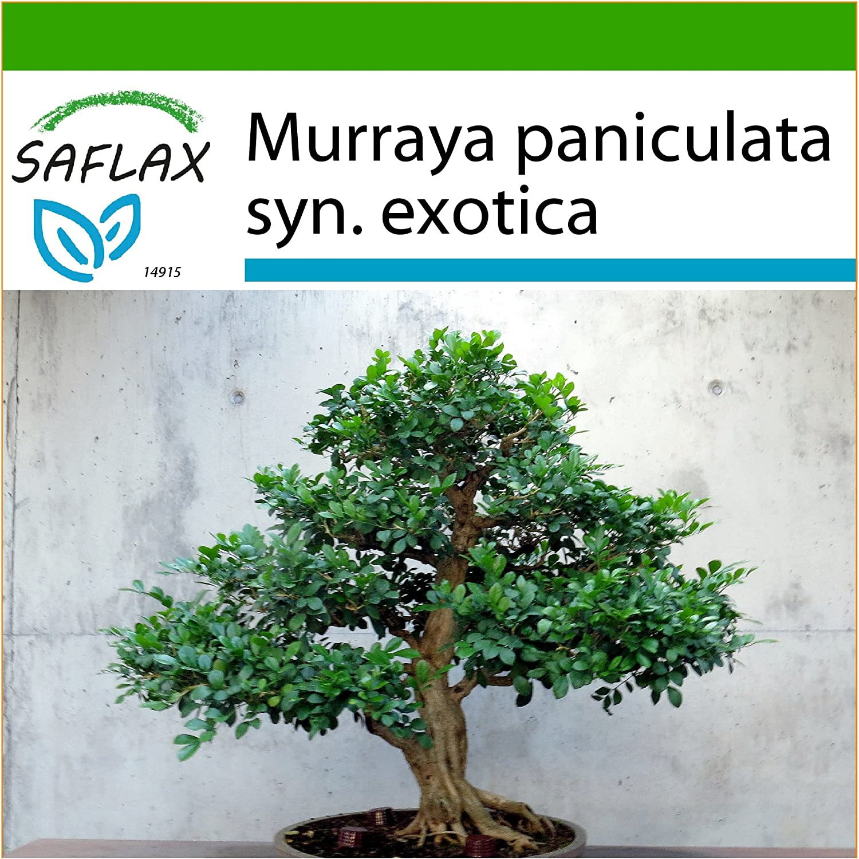 SAFLAX - Bonsai - Orangen-Jasmin - 12 Samen - Mit Substrat - Murraya paniculata syn. exotica