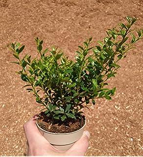 Buchsbaum Ersatz Jap Stechpalme Ilex crenata Caroline Upright