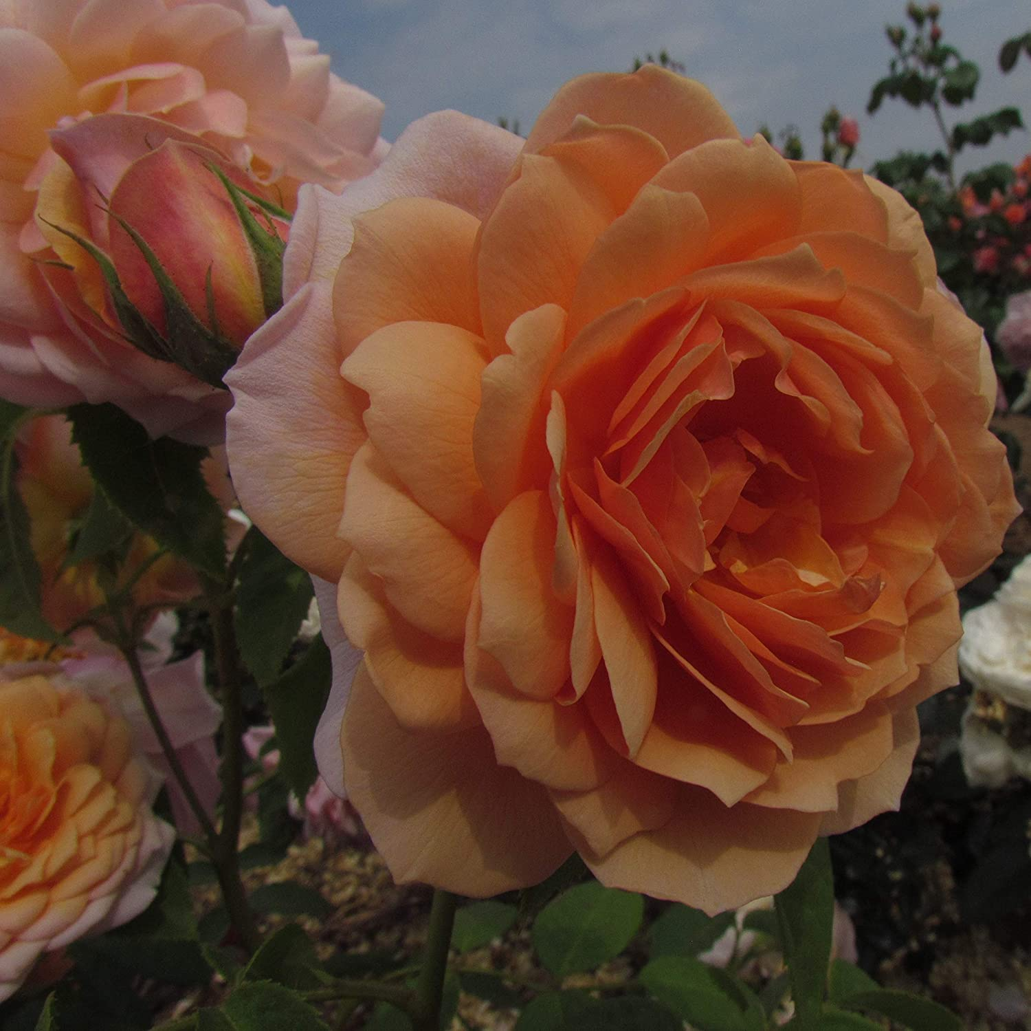Grace 5 5lt Potted David Austin Roses English Shrub Garden Rose Fragrant Pastel Orange Ginger Blooms Amazon Co Uk Garden Outdoors