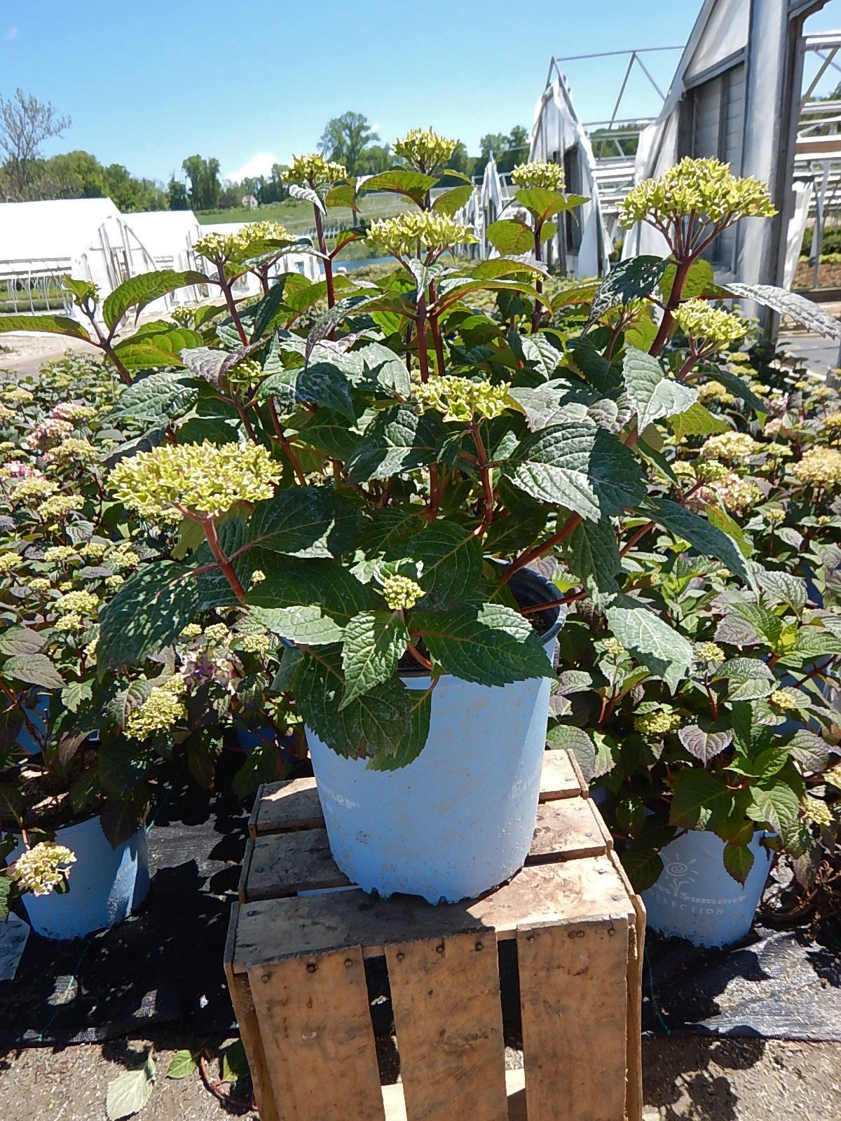 Endless Summer Collection - Hydrangea mac. Endless Summer BloomStruck (Reblooming Hydrangea) Shrub, RB purple, #3 - Size Container by Green Promise Farms (Image #2)