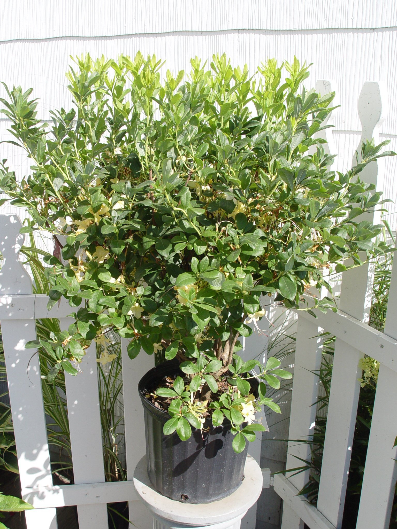 Azalea 'Lemon Drop' (Swamp Azalea) Shrub, pale yellow flowers, #3 - Size Container