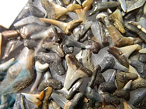 Fossil Shark Teeth Grab Bag, 60-70