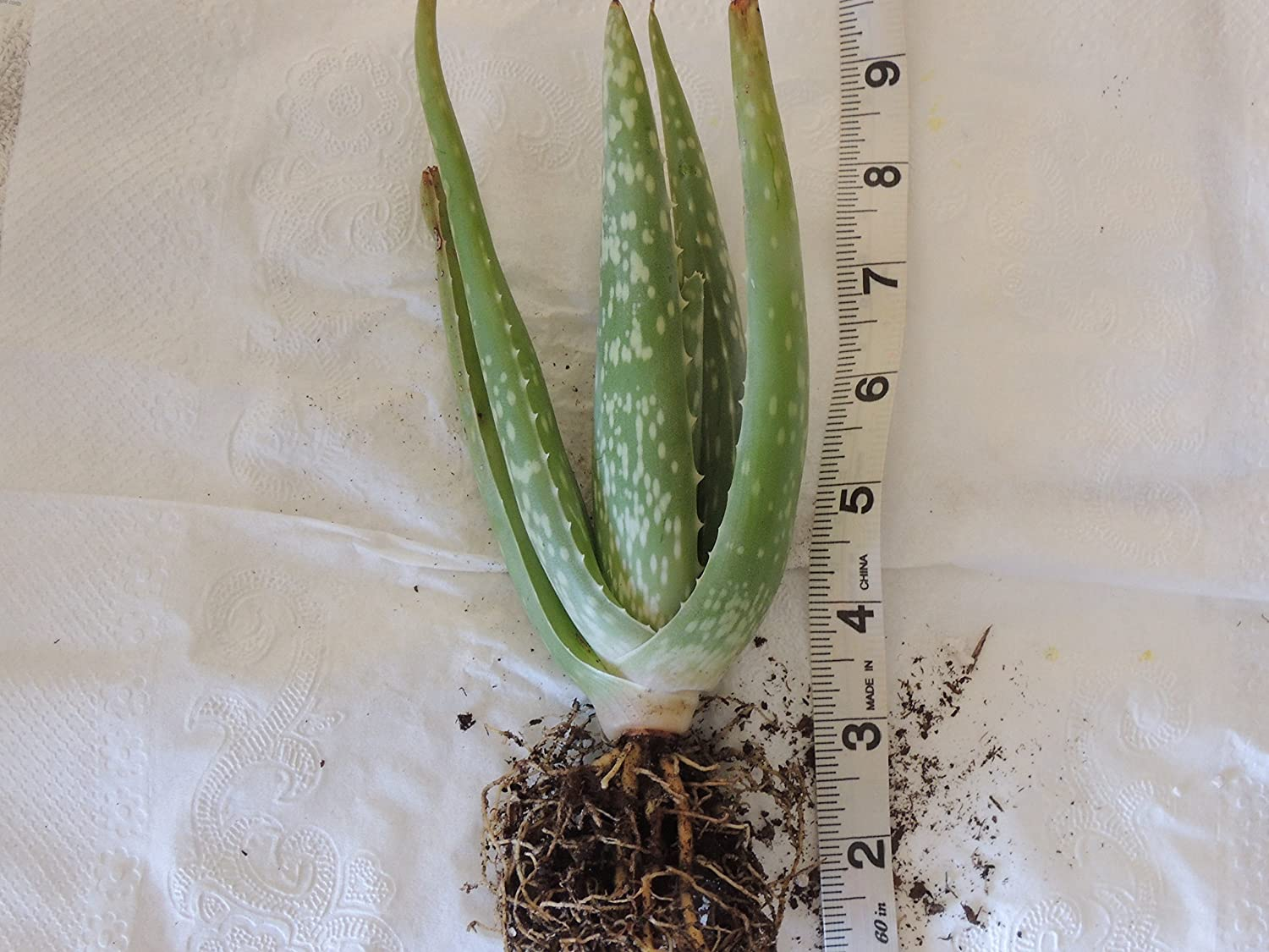 """Ships Bare Rooted 8/"""" Aloe Vera Organic Rooted Succulent Pups Barbadensis 4/"""""""
