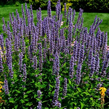 Amazon seeds of anise hyssop fragrant medicinal herb with seeds of anise hyssop fragrant medicinal herb with tall blue showy flower spikes mightylinksfo