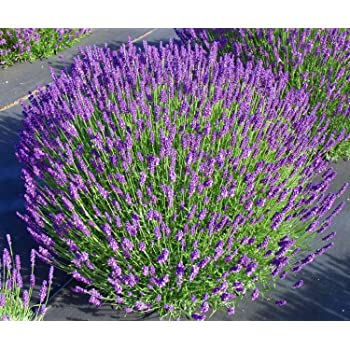 Amazon findlavender lavender hidcote blue dark purple findlavender lavender hidcote blue dark purple flowers 4 size pot mightylinksfo