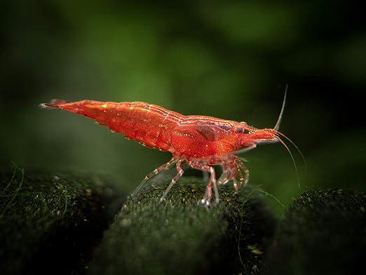 Amazon Com 10 Live Sakura Red Cherry Shrimp Neocaridina Davidi Breeding Age Young Adults 1 2 1 Inch Live Fish And Aquatic Pets Pet Supplies