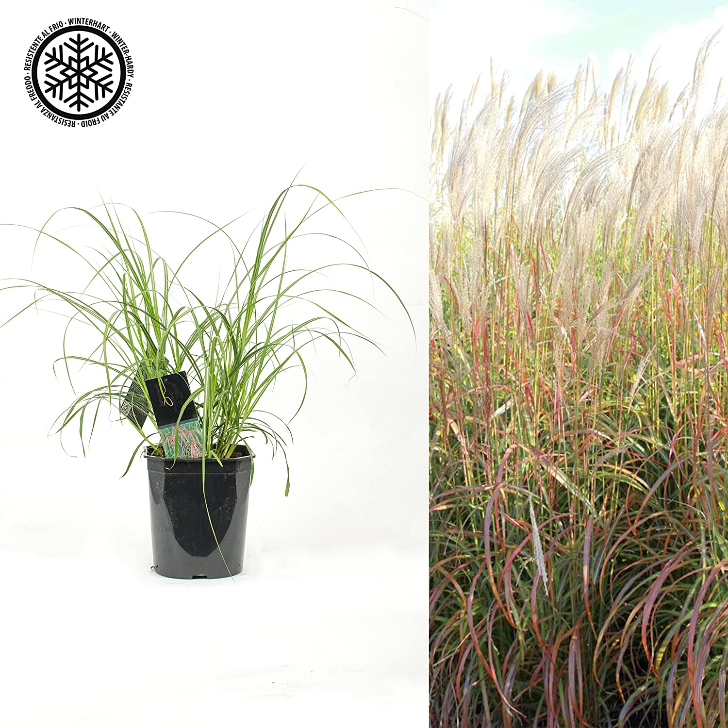 Inter Flower Riesen Chinaschilf Miscanthus Sinensis Flamingo
