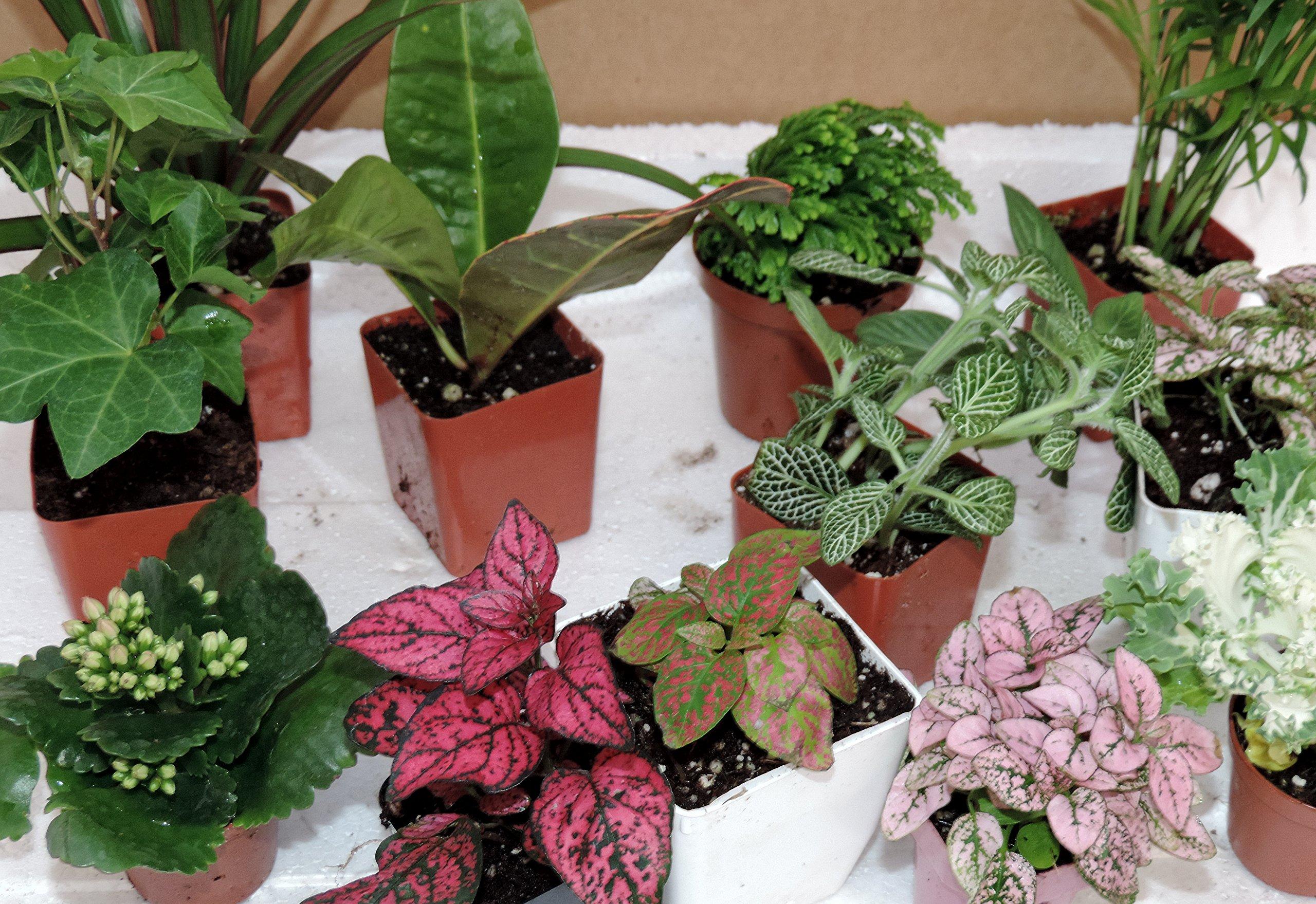 Terrarium & Fairy Garden Plants - 10 Plants in 2.5'' pots unique-jmbamboo
