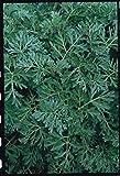 Just Seed Herb - Wormwood - Artemisia absinthium - 500 seeds