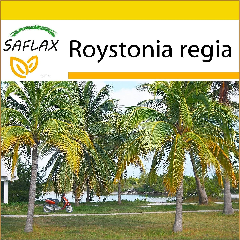 8 Samen SAFLAX Cubanische K/önigspalme Roystonia regia Anzucht Set