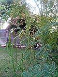 Seedstores Hybrid Moringa Drumstick Murungai Murunggi 25 Seeds