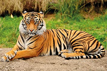 Image result for majestic tiger