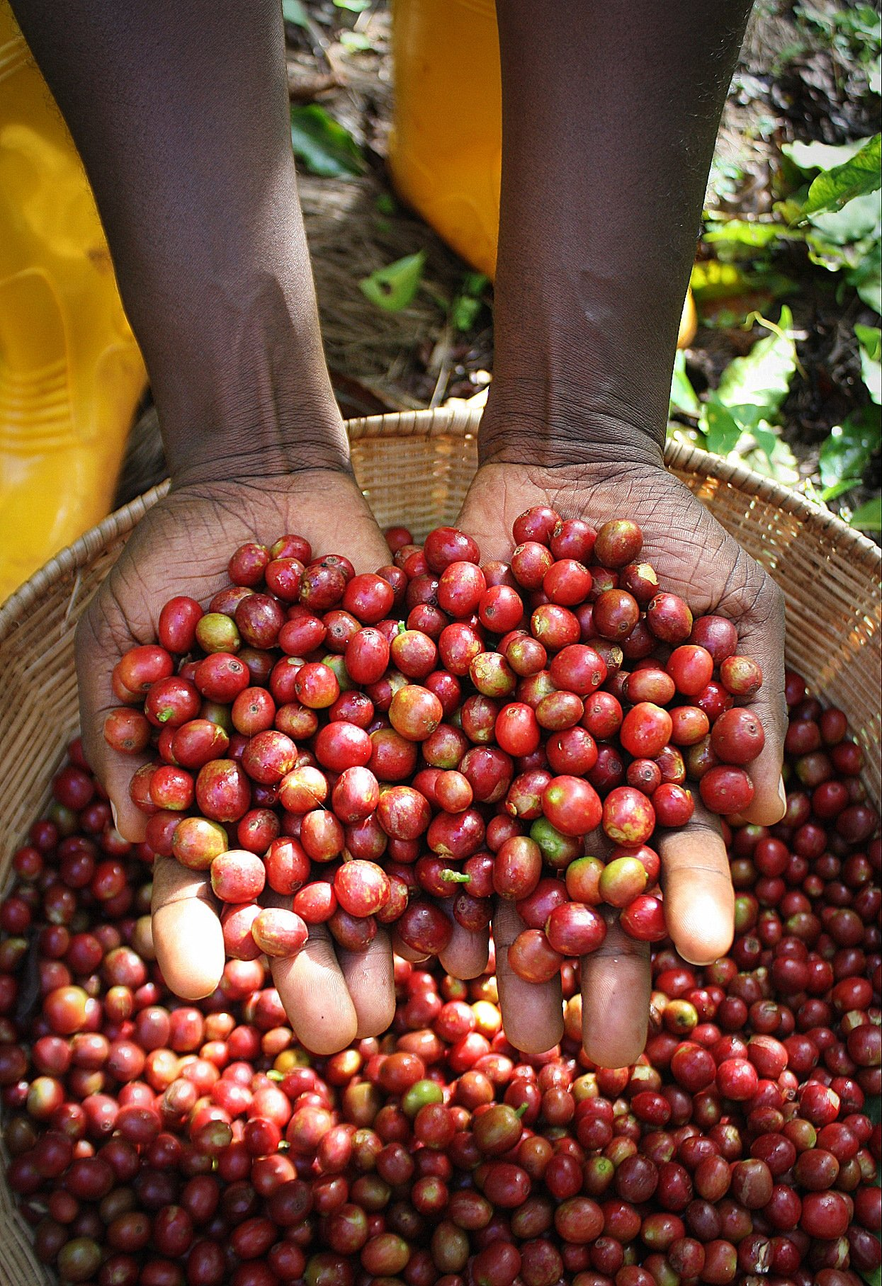 Burundi Butegana Washed (5 LB) Unroasted Green Coffee Beans for Home Roasting, 100% Specialty Arabica Beans.