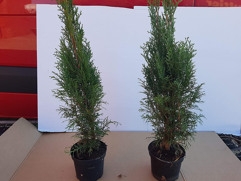 10 Stück Lebensbaum immergrüne Hecke im Topf Thuja Smaragd Heckenpflanze 50 cm