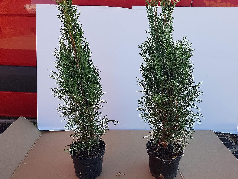 """Platz 4 – Thuja Lebensbaum""""Smaragd"""" Topfballen 50-60 cm 50 Stück"""