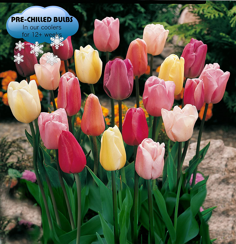 Amazon pre chilled mixed triumph tulips 25 bulbs garden amazon pre chilled mixed triumph tulips 25 bulbs garden outdoor izmirmasajfo
