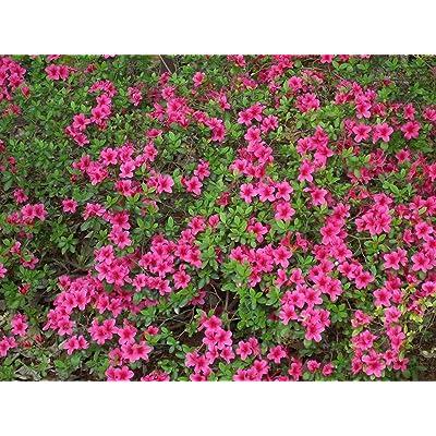 10 seeds of Rhododendron obtusum AZALEA Seeds : Garden & Outdoor